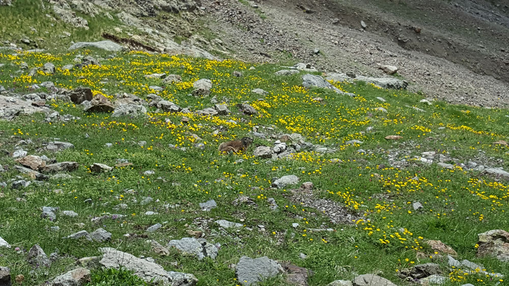 marmotte randonnée du lac de l'Eychada dans les Hautes-Alpes